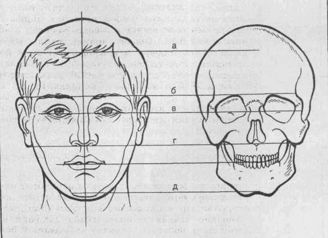 2. Пропорції голови